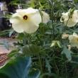 訂正 オクラの花
