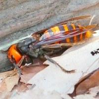 彩の国嵐山町・・・「蝶の里公園」の散歩・・・越冬オオスズメバチの女王に遭いました