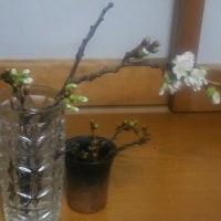 桜の枝探し・・(開花宣言)