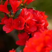 ツツジ (花 4419)
