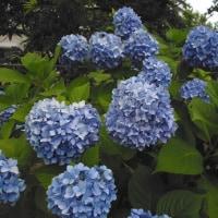 近所の紫陽花。( アジサイ )