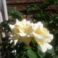 薔薇と小町のお手手
