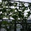 種から育てたモリンガ&雲南百薬
