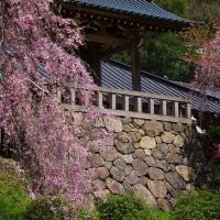 鹿沼市 下粕尾 常楽寺の桜 29.4.19