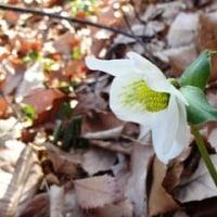 寒芍薬(クリスマスローズ)が咲き始めました!  1/11誕生花・・ロウバイ