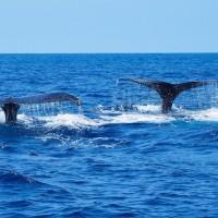 久米島ザトウクジラツアーのお知らせ