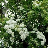 小手鞠(こでまり)という花