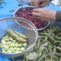 豆収穫の日曜日