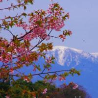 比良の残雪と桜