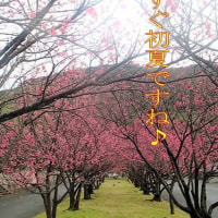 #桜前線2017 ♪もうすぐ初夏ですね♪ 三儀山運動公園ヒカンザクラ満開