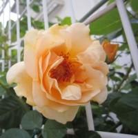 仕事を終え・・・帰宅~花を眺め・・・ほっと