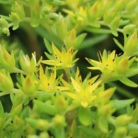 セダムの黄色い花咲く