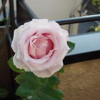 ローズマリーとバラ