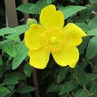 金糸梅(きんしばい)という花