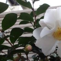 花径10cm以上の大きな山茶花