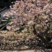 古木の五ケ所川桜 (南伊勢町)