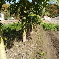 堺に実りを・パパイア吟味。岬町でも素人百姓がパパイアを育てています。