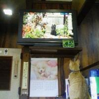 """BS番組""""ネコ歩き""""を見ているネコ"""