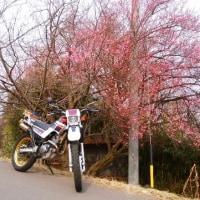 セローと廃屋と梅の花