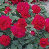 和気バラ園【バラ祭り】のバラの花・・・