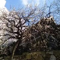 湯島の梅は盛りに