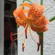 帝釈天の花