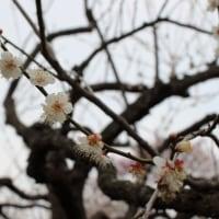 偕楽園の梅まつりに行ってきました