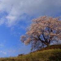 2017年4月19日 一本桜風に