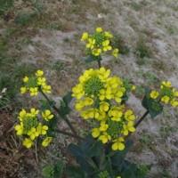菜の花に似た、黄色い花は?