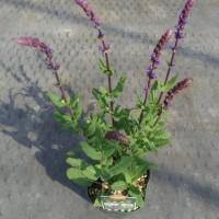 サルビア・カラドンナ&ネモローサ系3種