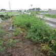 耕作放棄地からバラ園へ  2017.7.25