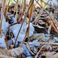 またまたシモバシラの氷柱(赤塚植物園)