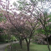 陽春の鎌倉;鎌倉中央公園の鯉のぼり