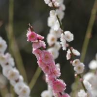 花だより シモクレンが咲き始めましたよ~ (鶴見緑地)