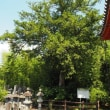 法久寺(ほうきゅうじ)のコツブガヤ 山梨県北杜市