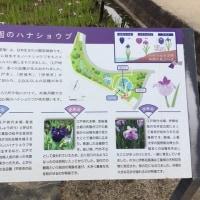 """雨降り前のお花見ポタ・・・相模原公園""""花菖蒲"""""""