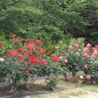 薔薇の季節&薬師寺食堂落慶法要へ