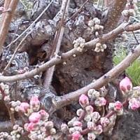 桃畑の桃の花