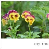 紫陽花、、イロイロ、、。