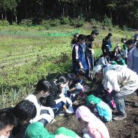 サツマイモ掘り 平出保育園と東小学校1年生