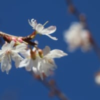 虹橋と冬桜