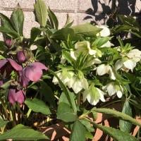 スイセンが咲いた。
