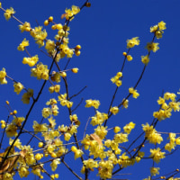 1月のカバー画像「北鎌倉の蝋梅」