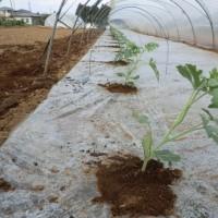 2017.3.29 西瓜の苗を植える