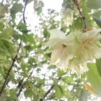 緑色の桜、『鬱金』(ウコン)、『御衣黄』(ギョイコウ)
