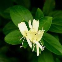 ポエム159 『スイカズラの咲く季節に』
