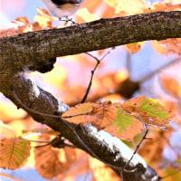 今日の野鳥  ニシオジロビタキ