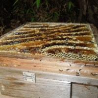 日本みつばちの蜂蜜を採蜜しました/濃厚でかおり高い春蜜です。