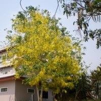 タイの国花は三つある? 日本は二つかな?