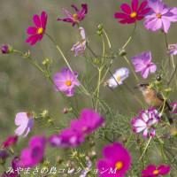 今日の鳥コレクション・・・ノビタキ
